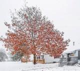 Snowy Autumn Oak P1030427