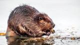 Beaver On Ice P1030768