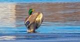 Mallard Clapping Its Wings P1030821