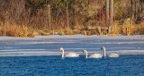 Three Swans A-Swimming P1030883
