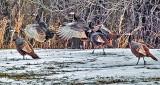 Wild Turkeys P1040249