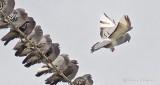 Pigeon Landing P1040401