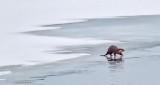 Otter On Ice P1370510