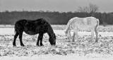 Black & White Horses In Black & White P1050261