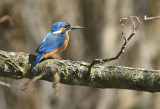Common Kingfisher -  Isfugl