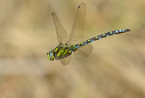 Latest Dragon- and Damselflies