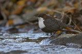 White Throated Dipper - Vandstær