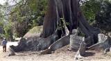 fromager, Kapok tree, Casamance, Sénégal
