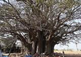 baobab (1500 ans, years), Sénégal