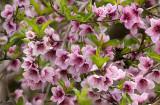 My Nectarine flowers
