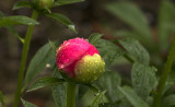 A rainy day Peony bud