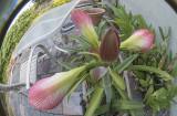 Five Future Amaryllis blooms