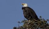 Local Bald Eagle