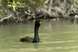 The Same Cormorant