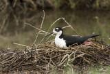 A nesting Black-necked Stilt