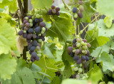 My Grapes