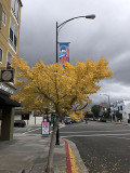 Fall Ginko Tree