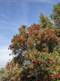 California Holly