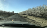 Driving home through the flowering Almond Trees