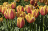 and Tulips