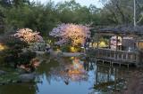 Hanami at Hakone - Cherry Blossom Night Viewing