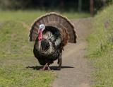 Showy Turkey Tom