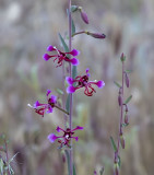 The Elegant clarkia wildflower