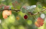 Fuchsia flowered gooseberry