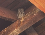 A Screech Owl