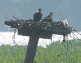 Osprey nest along the Potomac River