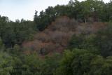 Dormant California Buckeye