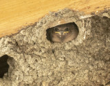 A young Cliff Swallow