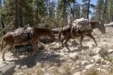 Mule Train from Sunrise High Sierra Camp
