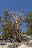 Still living Ancient Bristlecone Pine