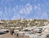 Marmot view
