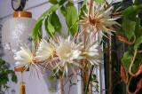 Night Blooming Epiphyllum