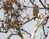 Another Red Shouldered Hawk