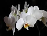 Phalaenopsis ou Orchidée papillon
