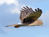 female Northern Harrier: Bartow Co., GA