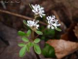 Harbinger-of-Spring: Erigenia bulbosa, Walker Co., GA