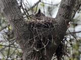 Great Horned Owl on nest: Bartow Co., GA