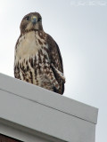 Red-tailed Hawk: downtown Cartersville, GA