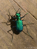 Six-spotted Tiger Beetle: Bartow Co., GA