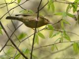 Worm-eating Warbler: Helmitheros vermivorum, Bartow Co., GA