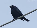 Brewer's Blackbird: Bartow Co., GA