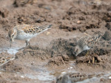 White-rumped and Least Sandpipers: Bartow Co., GA