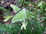 mating Luna Moth pair: Bartow Co., GA