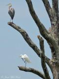 Great Blue Heron & Great Egret: Bartow Co., GA
