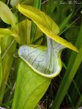 Green Pitcherplant: Sarracenia oreophila, DeKalb Co., AL