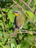 Yellow-breasted Chat: Bartow Co., GA